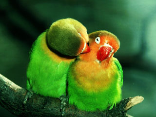 Roxy's Favorite Wallpapers-love-bird-wallpaper.jpg