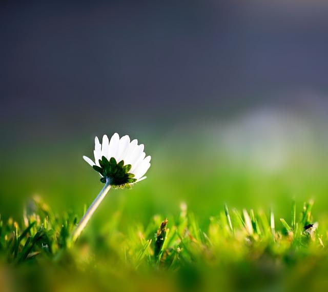 Galaxy S III stock wallpaper-lone-flower-wallpaper.jpg