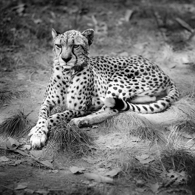 BlackBerry Passport Wallpaper-cheetah.jpg