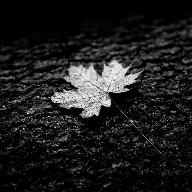 BlackBerry Passport Wallpaper-leaf.jpg