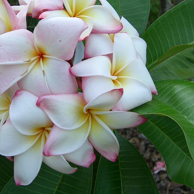 BlackBerry Passport Wallpaper-plumeria-2.jpg