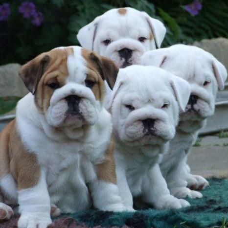 What picture are you using for your picture password?-english_bulldog_puppies_for_sale_edit.jpg