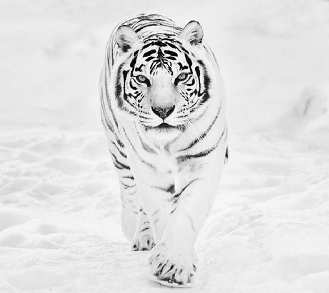 The Last post Wins!-tiger_in_snow.jpg