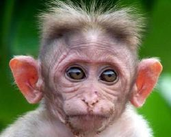 The CB 1M Challenge-funny-animal-pictures-captions-very-funny-monkey-face-like-human-huge-ears-open-ey.jpg