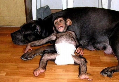 The CB 1M Challenge-chimp-dog-6.jpg