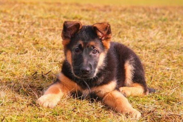 PB 64Gb Free when upgrade arrives (terms and conditions apply)-baby-german-shepherd-puppies-ijl5tfkk.jpg