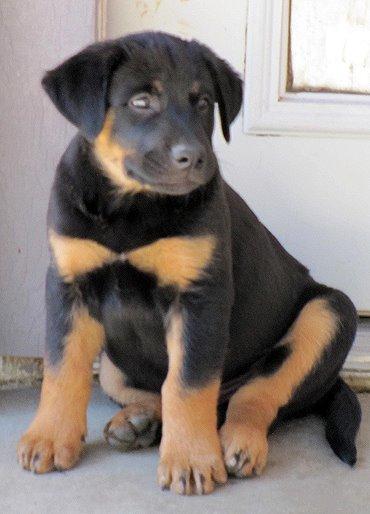 mix rottweiler puppy-#25