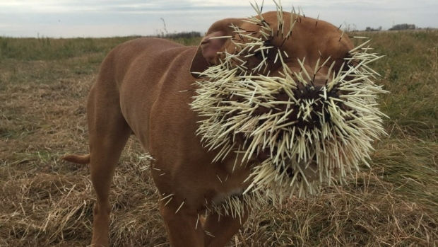 Official everyfin' to do with PlayBook hijack thread?-dog-porcupine-quills.jpg