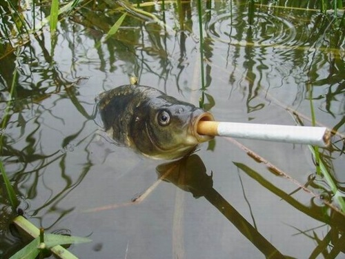Official everyfin' to do with PlayBook hijack thread?-smoking-fish.jpg