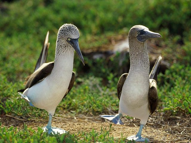 Official everyfin' to do with PlayBook hijack thread?-blue-footed-booby-two.jpg