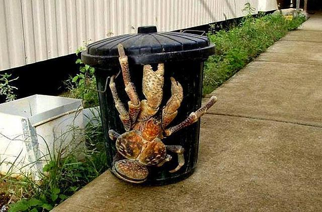 From Playbooks to Zoo to Rehabs, whitches wires to cuts....Red or Blues.....-coconut-crab-rubbish-bin.jpg